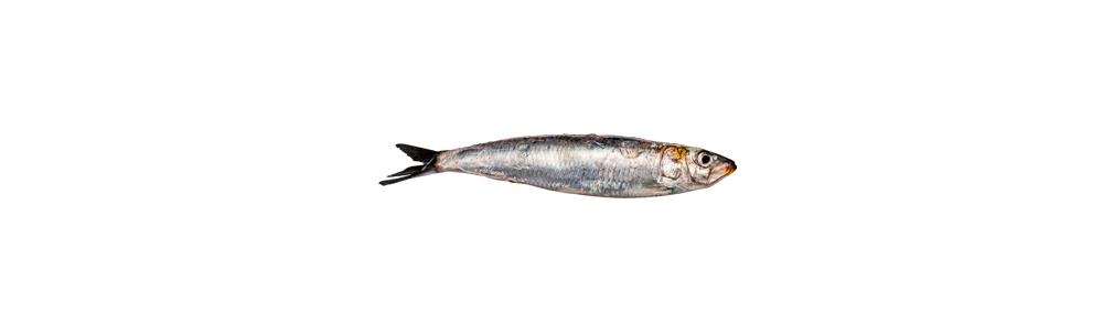 Filet de sardine surgelé (Sardina pilchardus)