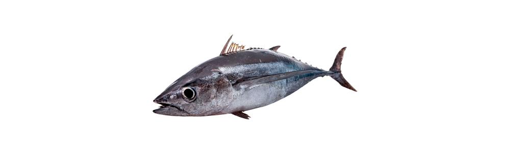 Sale of the first tuna of the season