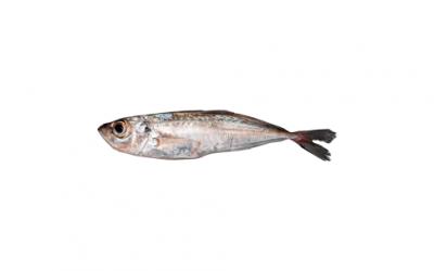 Atlantic horse mackerel (Trauchurus trachurus)