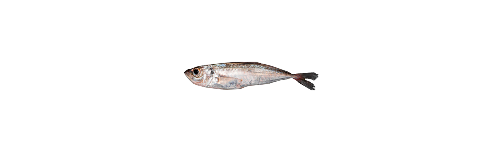 Atlantic horse mackerel (Trauchurus trachurus)